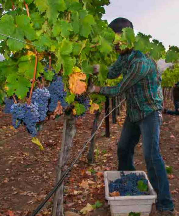 A vineyard worker picks grapes near Healdsburg, California.